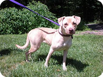 Pit Bull Terrier/Labrador Retriever Mix Dog for adoption in New Castle, Pennsylvania - Stella