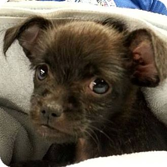 Chihuahua/Cairn Terrier Mix Puppy for adoption in Romeoville, Illinois - Roxy