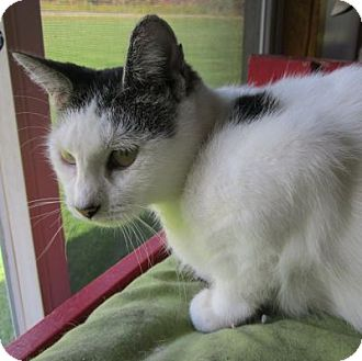 Domestic Shorthair Cat for adoption in Lyons, New York - Jenny