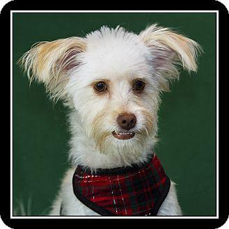 Maltese Mix Dog for adoption in Covina, California - Hazel