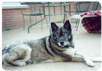 Siberian Husky/Norwegian Elkhound Mix Dog for adoption in Belleville, Michigan - Samra