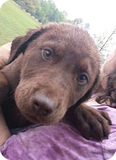 Labrador Retriever Mix Puppy for adoption in Portsmouth, New Hampshire - Nemo