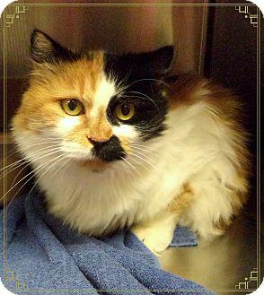 Domestic Longhair Cat for adoption in Marietta, Georgia - COOKIE