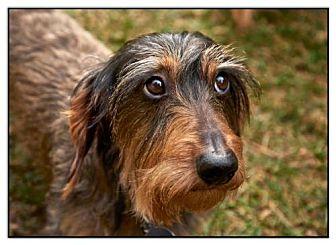 Dachshund Dog for adoption in Toronto, Ontario - Manny