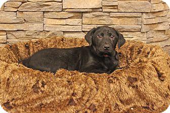 Rottweiler Mix Puppy for adoption in Waldorf, Maryland - Bright