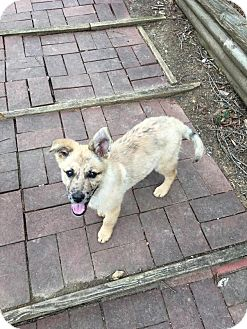 German Shepherd Dog Mix Puppy for adoption in Charlotte, North Carolina - Maddie