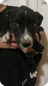 Border Collie Puppy for adoption in Denver, Colorado - sam