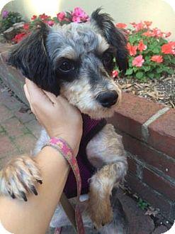 Miniature Schnauzer Mix Dog for adoption in Philadelphia, Pennsylvania - Penny
