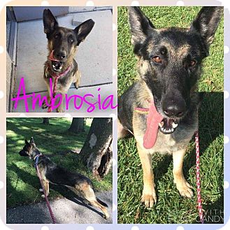 German Shepherd Dog Mix Dog for adoption in Garden City, Michigan - Ambrosia