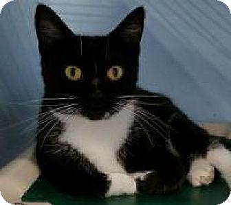 Domestic Shorthair Cat for adoption in Warren, Michigan - Tabitha
