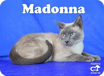 Siamese Cat for adoption in Carencro, Louisiana - Madonna