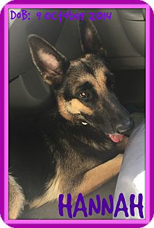 German Shepherd Dog Dog for adoption in Jersey City, New Jersey - HANNAH