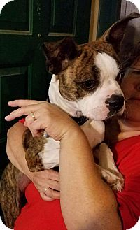 Boston Terrier/Boxer Mix Dog for adoption in Weatherford, Texas - Jameson