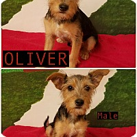 Adopt A Pet :: Oliver pending adoption - East Hartford, CT