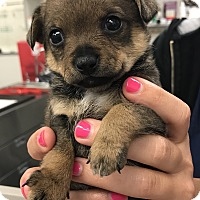 Adopt A Pet :: Anastasia - Los Alamitos, CA