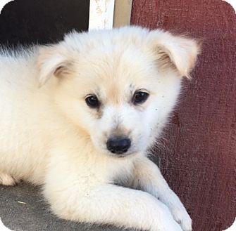 American Eskimo Dog/Pomeranian Mix Puppy for adoption in Pennigton, New Jersey - Togi