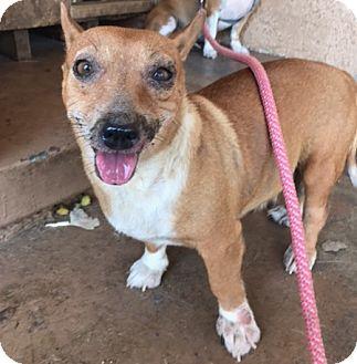 Dachshund/Corgi Mix Dog for adoption in San Juan Capistrano, California - Dora