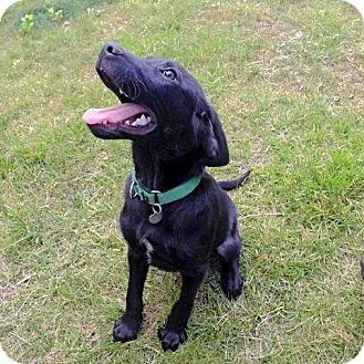 Labrador Retriever Mix Puppy for adoption in Livonia, Michigan - Jr Litter - Lancelot - ADOPTED