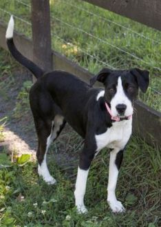 Border Collie Mix Dog for adoption in Fairfax, Virginia - Genie