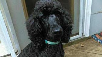 Poodle (Standard) Dog for adoption in Spartanburg, South Carolina - Alfred (Alfie)