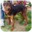 Photo 2 - Rottweiler/German Shepherd Dog Mix Puppy for adoption in Berkeley, California - Brandy