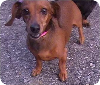 Dachshund Dog for adoption in Columbiaville, Michigan - Peanut