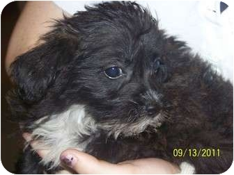 Miniature Poodle/Cairn Terrier Mix Puppy for adoption in Smithfield, North Carolina - Oompa