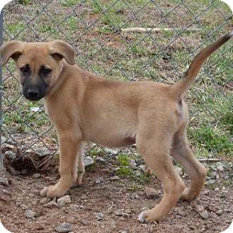 German Shepherd Dog/Labrador Retriever Mix Puppy for adoption in Greensboro, Georgia - Gavin- Adopted!