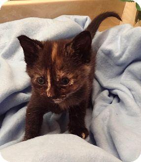 Domestic Shorthair Kitten for adoption in Bentonville, Arkansas - Tinkle