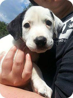 Pit Bull Terrier Mix Puppy for adoption in Hillsborough, New Jersey - Addie