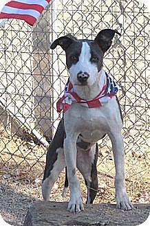 Whippet/American Staffordshire Terrier Mix Dog for adoption in Toluca Lake, California - Malibu Barbie