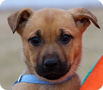 German Shepherd Dog Mix Puppy for adoption in Chicago, Illinois - Beauty