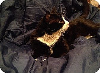 Domestic Shorthair Cat for adoption in Brooklyn, New York - Roger