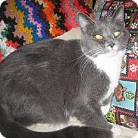 Adopt A Pet :: Munchkin - Chandler, AZ