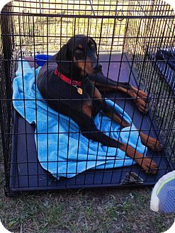 Doberman Pinscher Dog for adoption in killeen, Texas - Sophie