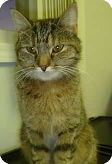 Domestic Shorthair Cat for adoption in Hamburg, New York - Penny Anne