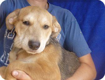 German Shepherd Dog/Labrador Retriever Mix Puppy for adoption in Oviedo, Florida - prada