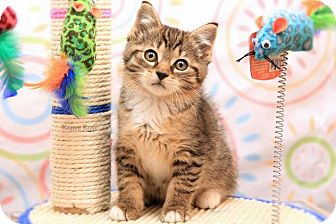 Domestic Shorthair Kitten for adoption in Sterling Heights, Michigan - Lila-ADOPTED