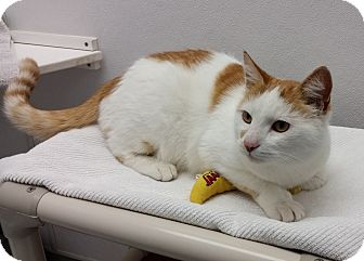 Domestic Shorthair Cat for adoption in Medfield, Massachusetts - Caramel