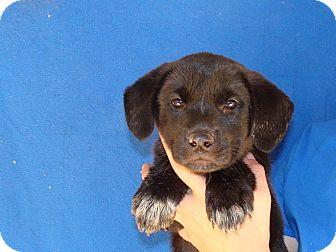 Golden Retriever/Labrador Retriever Mix Puppy for adoption in Oviedo, Florida - Aries