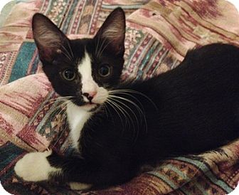 Domestic Shorthair Kitten for adoption in North Highlands, California - Keely