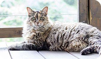 Maine Coon Cat for adoption in Cincinnati, Ohio - Sassy