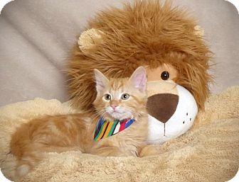 Domestic Longhair Kitten for adoption in Kerrville, Texas - Aladdin