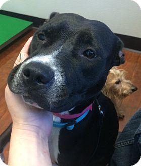 Pit Bull Terrier/Labrador Retriever Mix Dog for adoption in Oak Ridge, New Jersey - Ellie-URGENT!