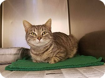 Domestic Shorthair Cat for adoption in Windsor, Virginia - Calvi