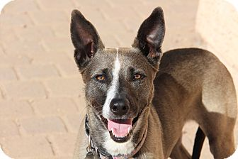 Belgian Malinois/Australian Kelpie Mix Dog for adoption in Phoenix, Arizona - Harper