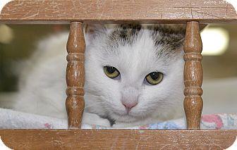 Domestic Shorthair Cat for adoption in Medina, Ohio - Wally