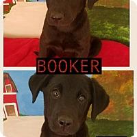 Adopt A Pet :: Booker meet me 4/21 - East Hartford, CT