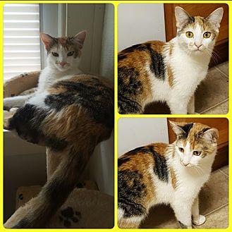 Domestic Shorthair Cat for adoption in Toledo, Ohio - Olivia