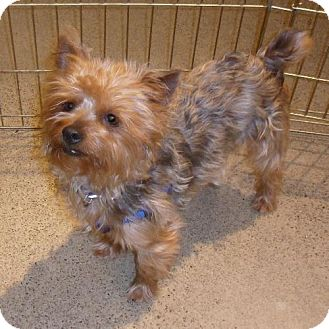 Cairn Terrier/Yorkie, Yorkshire Terrier Mix Dog for adoption in Tacoma, Washington - Chewie